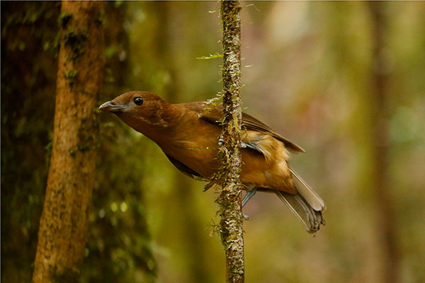 Vogelkop Bowerbird-West Papua by David Beadle