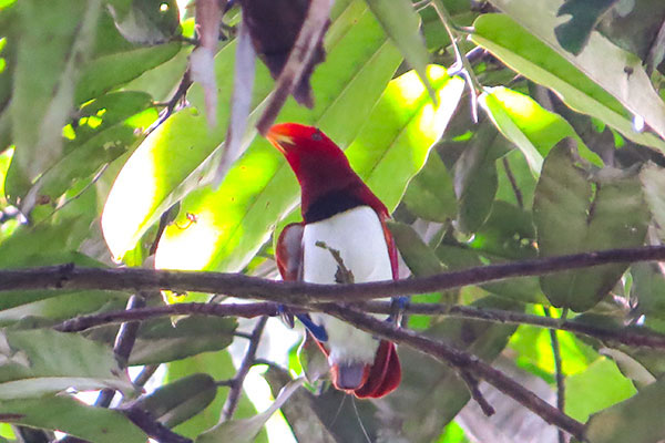 King Bird-of-Paradise-papua