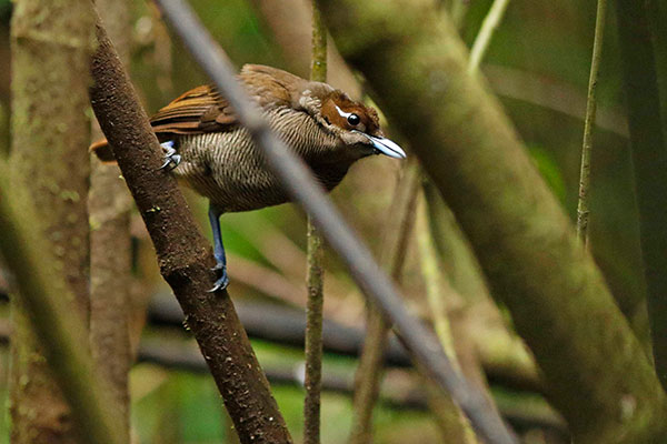 Magnificent Bird-of-Paradise (female) West Papua