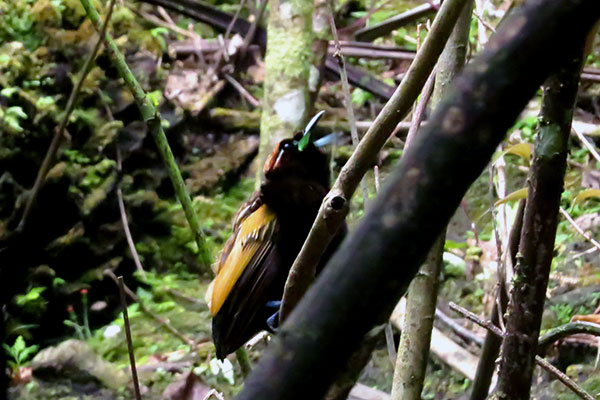 Magnificent Bird-of-Paradise (male)