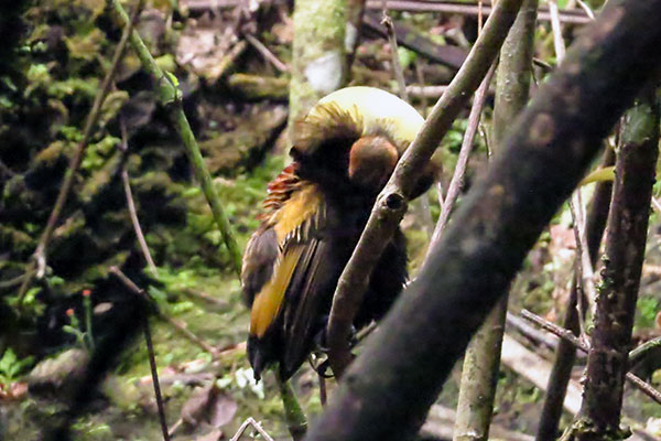 Magnificent Bird-of-Paradise West Papua