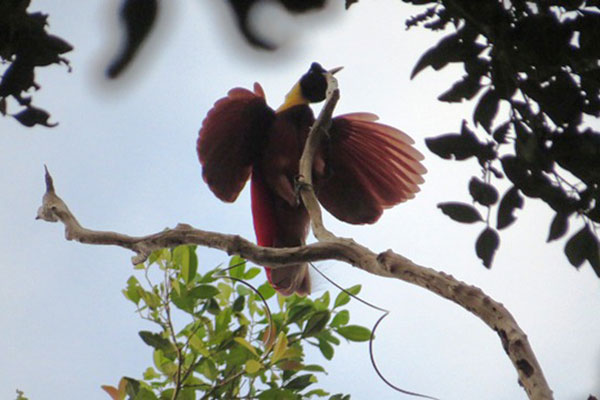 Red Bird-of-Paradise-papua-06