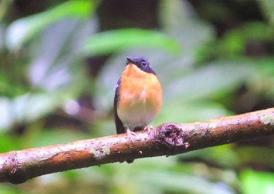 Rufous-chested-Flycatcher