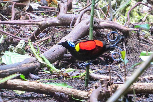 Wilson's Bird-of-Paradise-papua-02