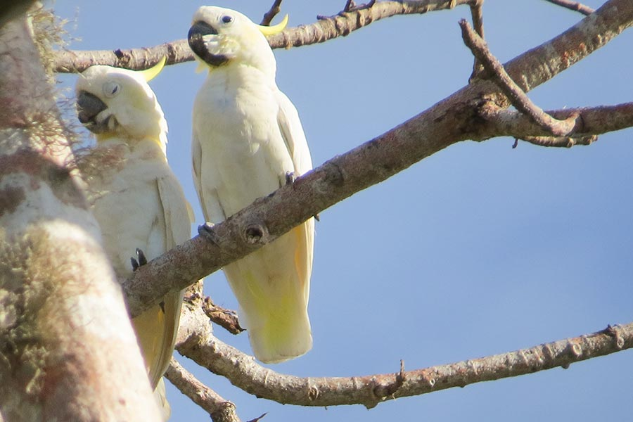 Yellow-crested-Cockatoo-2