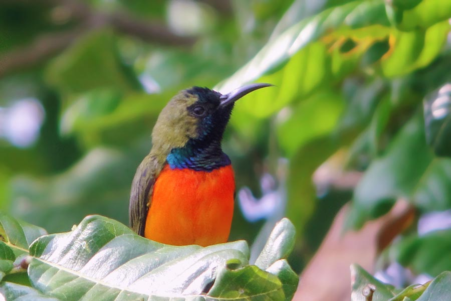 flame-breasted-sunbird-2