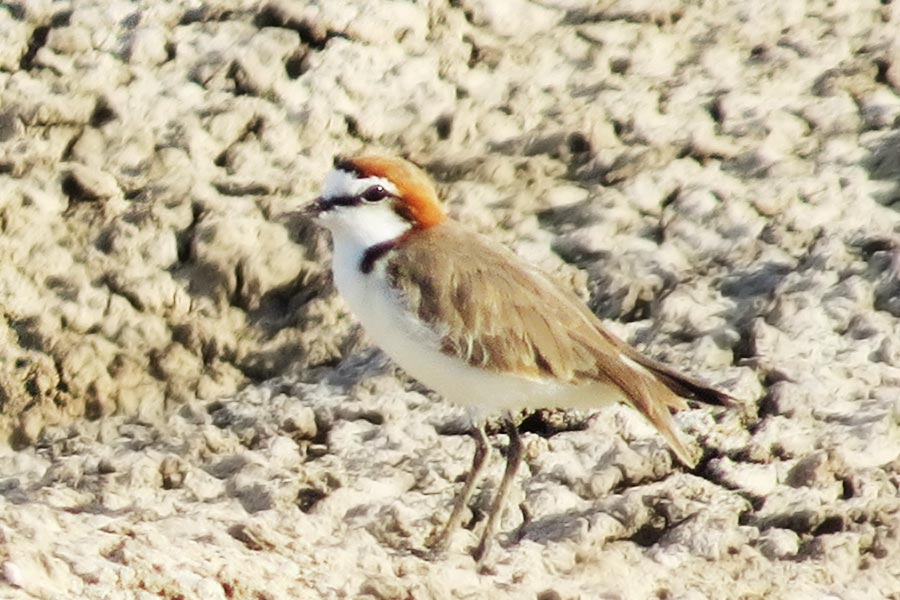 red-capped-plover