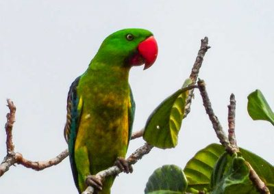 Great-billed-Parrot