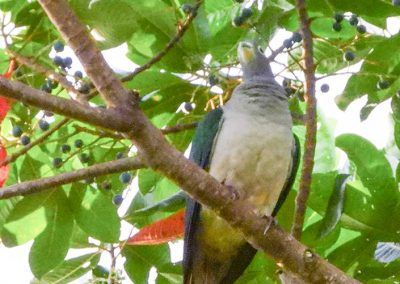 Moluccan-Imperial-Pigeon3