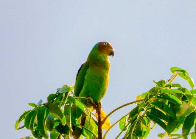 Red-cheeked-Parrot---female