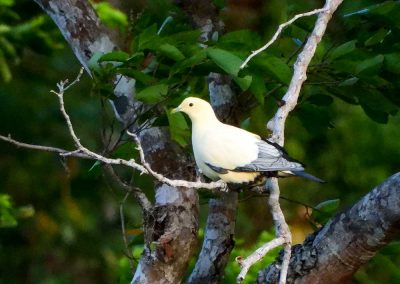 Silver-tipped-Imperial-Pigeon